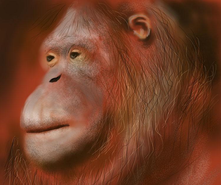 orangutan-Portrait-wide